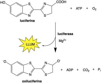 Reacció luciferina