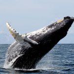 Els cetacis: de la terra al mar