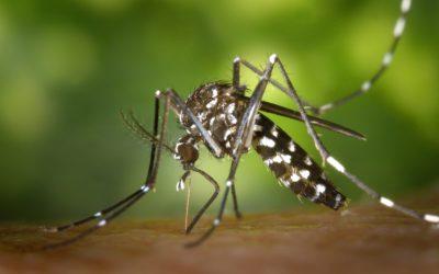 Un banquet per als mosquits